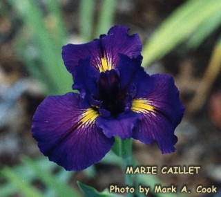 The iris named for Marie Caillet