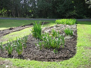 Louisiana iris beds growing well after importing rhizomes from Australia