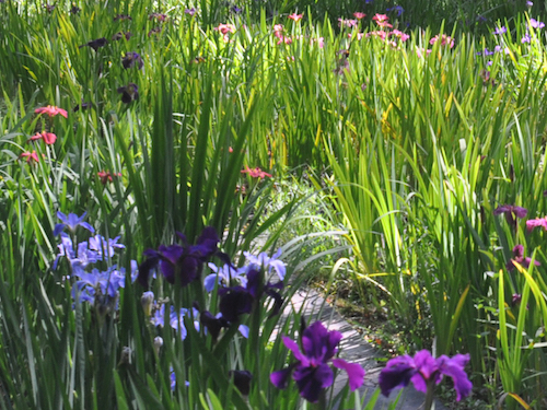 The annual color explosion of Briarwood's louisiana iris