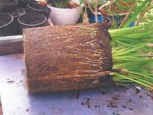 Photograph Of A Pot Louisiana Irises Showing Bound